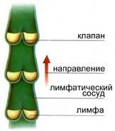 лимфатическая система, очистка лимфатической системы